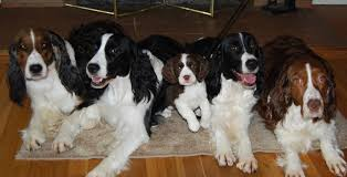 downs lake kennel akc english springer spaniel trained puppies