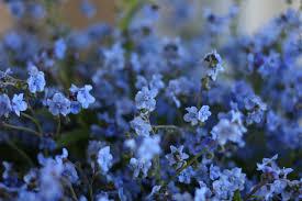 flower focus forget me not s floret flowers
