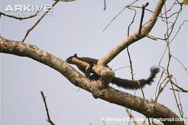 black squirrel photo ratufa bicolor g129385 arkive