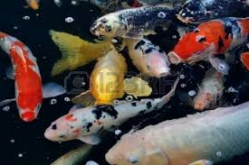 colorful ornamental koi fish in pond stock photo picture and