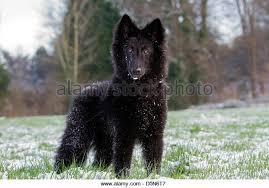 belgian shepherd groenendael for sale uk groenendael belgian shepherd dog stock photos u0026 groenendael