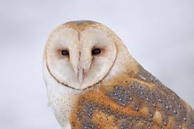 What Does A Barn Owl Look Like 10 Awesome Owl Photos For International Owl Awareness Day U S