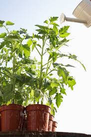 Outdoor Potted Plants Full Sun by 5 Tips For Growing Tomatoes In Containers