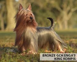 silky terrier hair cut silky terrier grooming bathing and care espree animal products