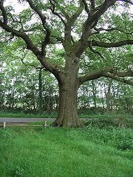 panoramio photo of de dikke boom thick tree