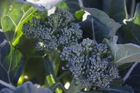how to grow broccoli plants in the vegetable garden
