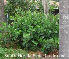 South Florida Landscaping Ideas Clusia Rosea And Guttifera