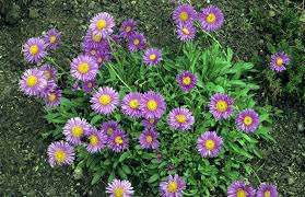flower plants grow perennial aster flower plants for fall blooms