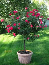 fast growing trees for small gardens ideas garden and