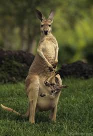 imagenes animales australia national animal of australia red kangaroo 123countries com