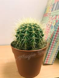 1 large mature cacti cactus succulent office indoor garden plant