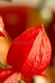 lantern flower lantern flower physalis alkekengi royalty free stock
