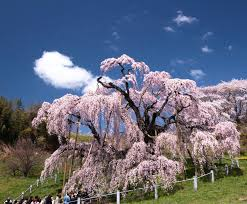 your japan s three best cherry blossom trees soranews24