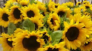 bouquet of sunflowers how to grow sunflowers with small or big blooms