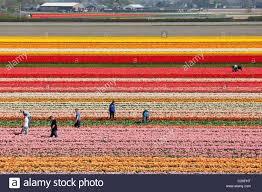 farm workers working weeding by hand in dutch tulip fields near