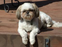 shih tzu with curly hair haircut styles for shih tzu dogs hairs picture gallery