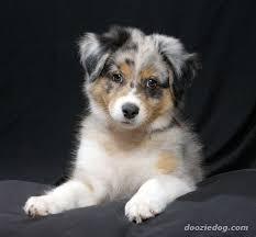 australian shepherd puppies australian shepherd puppy all god u0027s creatures pinterest