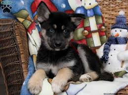 australian shepherd with german shepherd 26 best german shepherd siberian husky images on pinterest husky
