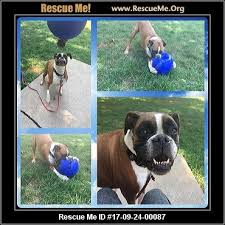 boxer dog rescue wisconsin boxer rescue u2015 adoptions u2015 rescueme org