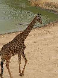 Tisch Family Zoological Gardens - tisch family zoological gardens biblical zoo תמונה של גן החיות