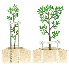 tree stakes planting and caring for trees sunset