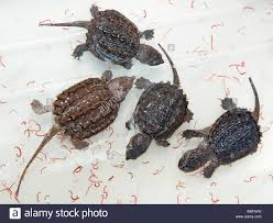 baby alligator snapping turtles macrochelys temminckii with stock