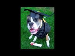 dog graduation cap dogs graduation celebration