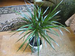dracaena how to plant grow and take care of decorative plants at