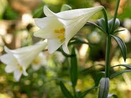 white lilies lilium longiflorum white american easter
