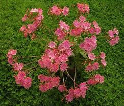 lewisia cotyledon u0027sunset strain u0027 north american rock garden society