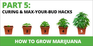 what color light do plants grow best in how to grow marijuana step 5 curing max your bud hacks