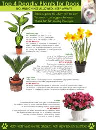 4 common yet deadly plants for dogs infographic a dog tales
