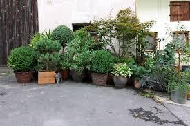 pflanzen fã r den balkon immergrüne geißschlinge geissblatt lonicera henryi blühende