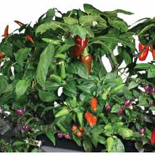 miracle gro aerogarden chili peppers 7 pod seed kit walmart com