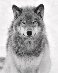 monotone timber wolf photograph by tony beck