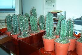 trichocereus pachanoi san pedro cactus mescaline