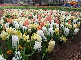 hyacinth flower hyacinth flowers facts varieties growing and plant caring tips