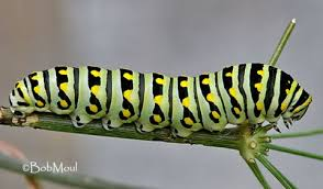 how many legs does a caterpillar the children s butterfly site