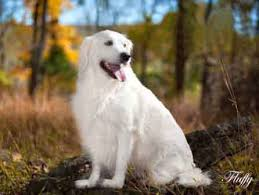 white golden retriever puppies english cream akc breeder ct ma nj