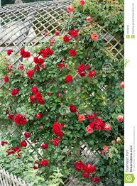 photos de pergola de pergola met rode rozen stock foto u0027s afbeelding 33030903