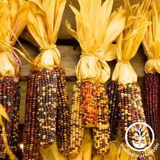 ornamental indian corn seeds true leaf market