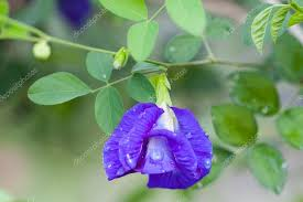 butterfly pea flower medicinal herbs to treat disease and certain