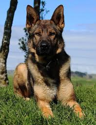 belgian shepherd nz the 170 best images about dogs on pinterest