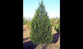 live christmas trees montgomery county parks and recreation recycling christmas trees at