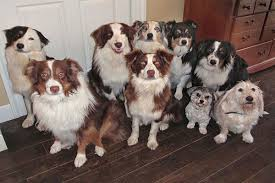 commercials with australian shepherds australian shepherd temperament names rescue adoption