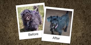 affenpinscher youtube we love these before and after photos from the dirty dogs contest