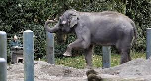 Zoo Resume Seattle Elephants Resting U0027in Comfort U0027 At San Diego Zoo La Times