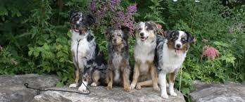 australian shepherd fun facts frequently asked questions masca u2013 miniature australian shepherd