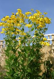 Yellow Flowering Bushes And Shrubs Super Natural Landscapes Plant List Whistler Pemberton