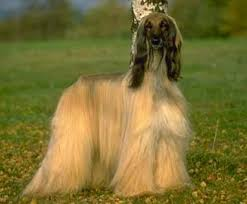 afghan hound lady and the tramp everything about your afgan hound luv my dogs